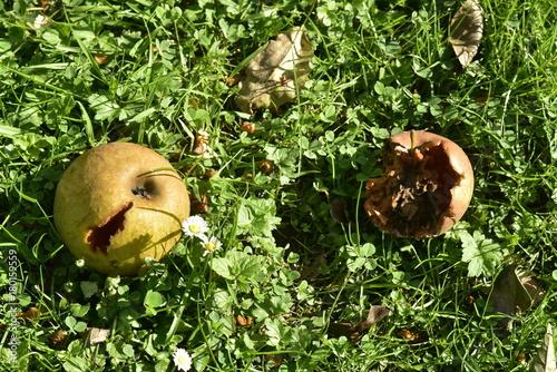 Fotografía Pommes tombées en état de décomposition au verger des Jardins Massart à Auderghe