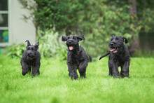 Happy Giant Schnauzer Puppies ...