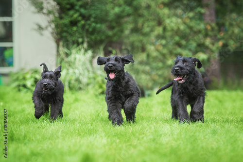 Fotografía Happy giant schnauzer puppies playing in the yard