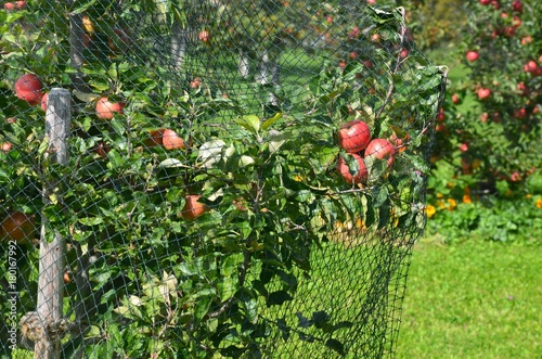 Rote Äpfel hängen reif am Apfelbaum
