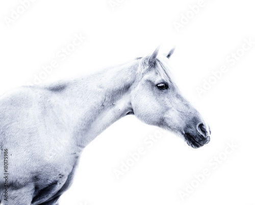 Keuken foto achterwand Paarden White horse on white background