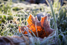 Yellow Maple Leaf On Green Gra...