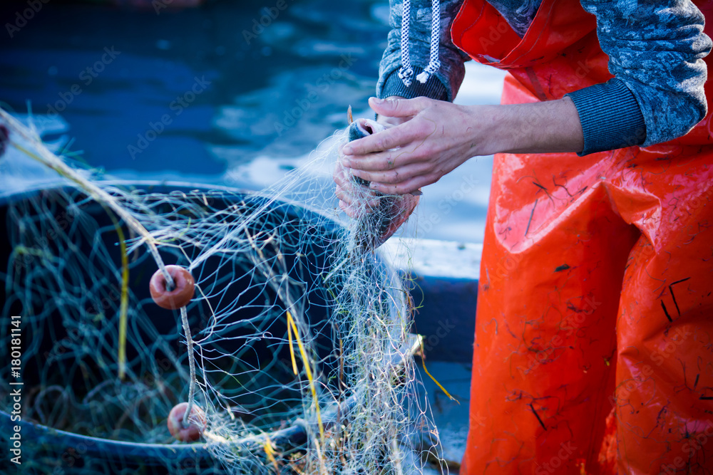 Fototapety, obrazy: fisherman while cleaning the fishnet from the fish