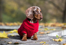 Dachshund Dogs Dressed In A Kn...