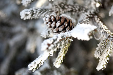 Snow Covered Pine Cones On A Snow Covered Branch Of A Pine Tree