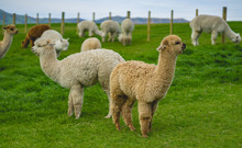The Adorable Alpacas In Newzea...