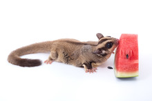 Female Sugar Glider Eating Wat...