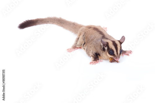 Female sugar glider eating roast insect on the floor isolate on white.