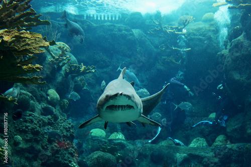 Fotomagnes Rekin tygrys skierowany jest prosto w kierunku kamery podczas podwodnego nurkowania