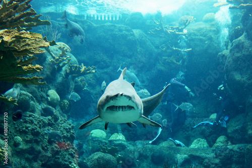 Obraz na dibondzie (fotoboard) Tygrysowy rekin pływa prosto do kamery w egzotycznej scenie oceanu
