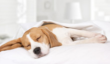 Beagle Dog Sleeping At Home On...
