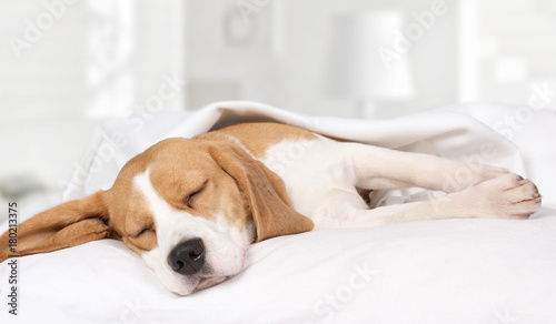Keuken foto achterwand Hond Beagle dog sleeping at home on the bed