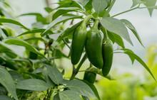 Organic Jalapeño Peppers Grow...