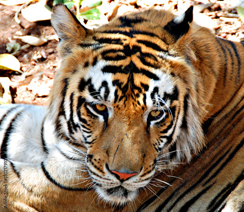 In de dag Tijger Bengali Tiger