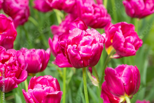 Staande foto Roze purple tulip flower field in the garden