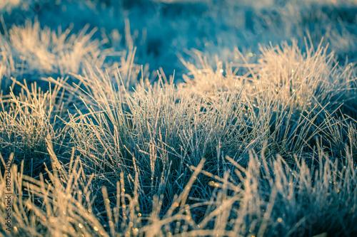 Fotografie, Obraz  A beautiful frozen wetland grass in the morning light