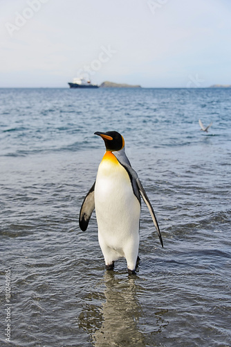 King penguin going from sea