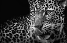 Leopard Portrait On Dark Backg...