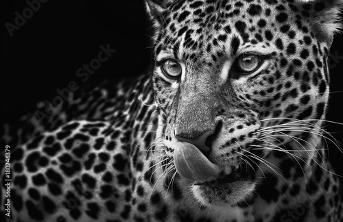 Leopard Leopard portrait on dark background. Panthera pardus kotiya, predator licked