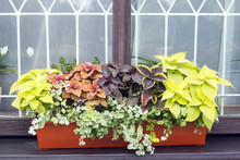 Different Plants Coleus In Pot...
