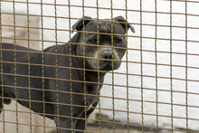 The Head Of A Dog Of The Fighting Breed Pitbulterier Behind A Wire Fence