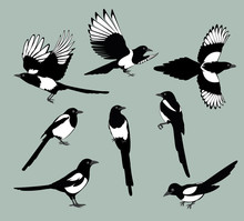 Set Magpie Birds. Set Of Black Isolated Vector Silhouettes Of Birds (magpie). Bird Poses. Vector Illustration.