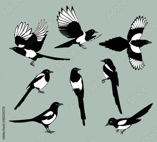 set magpie birds Canvas Print