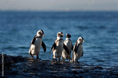 African penguin, spheniscus demersus, South Africa