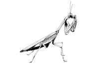 Insect A Praying Mantis Drawn In Ink By Hand Without The Background Sketch