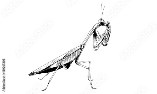 Fotografie, Obraz  insect a praying mantis drawn in ink by hand without the background sketch