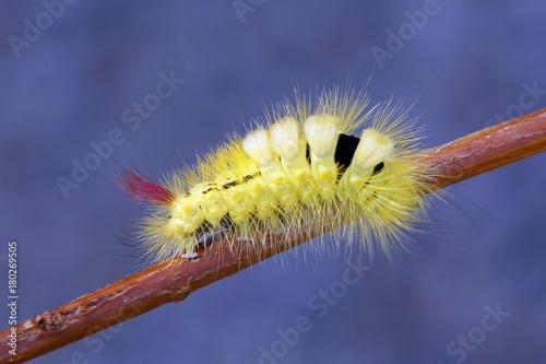 Vászonkép Pale tussock moth caterpillar, Calliteara pudibunda