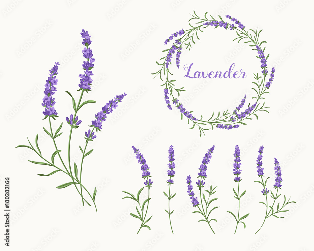 Fototapety, obrazy: Vector lavender illustration set. Beautiful violet lavender flowers collection.