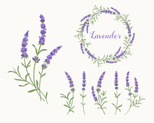 Vector Lavender Illustration Set. Beautiful Violet Lavender Flowers Collection.