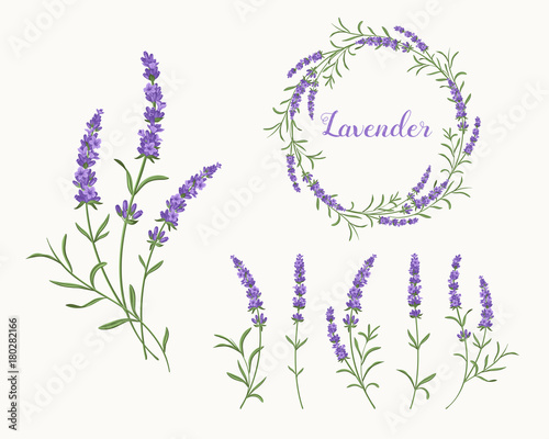 Vector lavender illustration set. Beautiful violet lavender flowers collection.  - 180282166