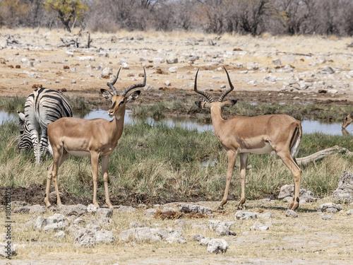 Antelope Antilopen vor dem Kampf
