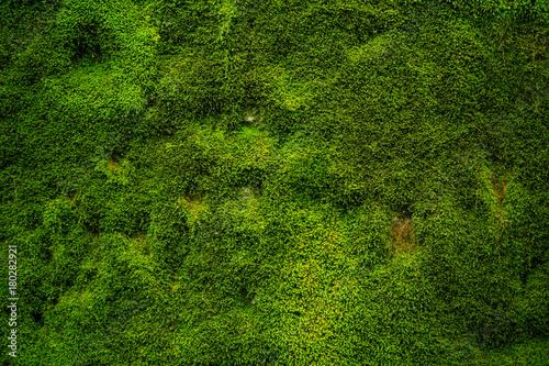 Canvas Print Natürliches grünes Moos als Hintergrund - Textur