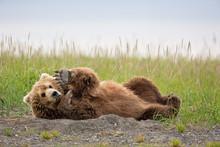 Brown Bear Laying Down And Raising His Paw In Alaska