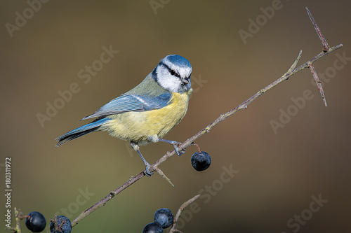 A detailed portrait of a blue tit perched on a blackthorn branch with sloe berri Wallpaper Mural