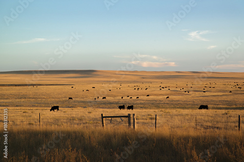 cows in a pasture Fotobehang