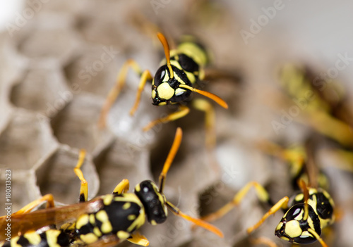 A wasp for hives in nature Canvas-taulu