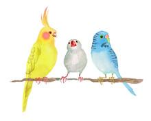 オカメインコ セキセイインコ 文鳥 水彩 イラスト