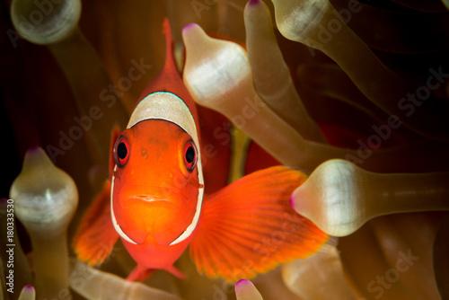 spinecheek anemonefish, clownfish Fototapet