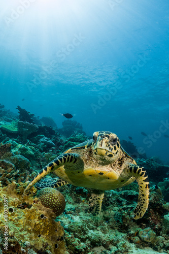 Poster Waterlelies loggerhead turtle swimming over a coral reef with sun rays