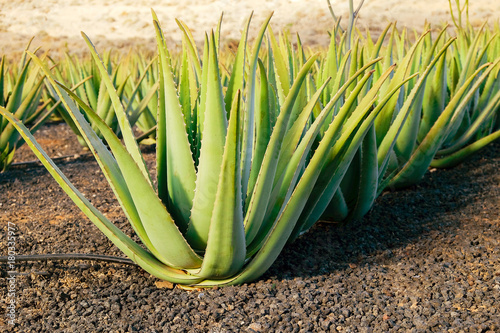 Aloe vera farm on Fuerteventura, Canary Island. Wallpaper Mural