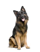 German Shepherd (3 Years)