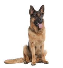 German Shepherd (15 Months)