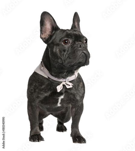 Tuinposter Franse bulldog French Bulldog (2 years old)