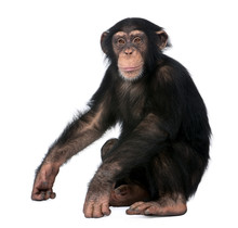 Young Chimpanzee, Simia Troglo...