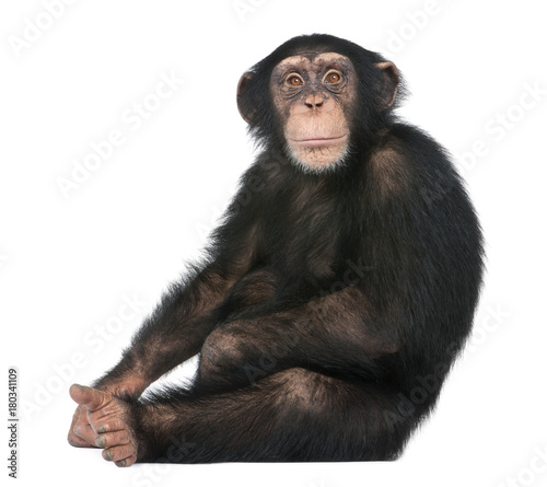 Young Chimpanzee sitting - Simia troglodytes (5 years old) Canvas Print