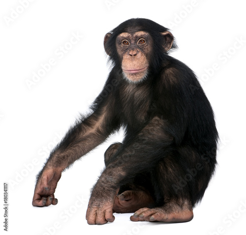 Poster de jardin Singe Young Chimpanzee, Simia troglodytes, 5 years old, sitting in front of white background